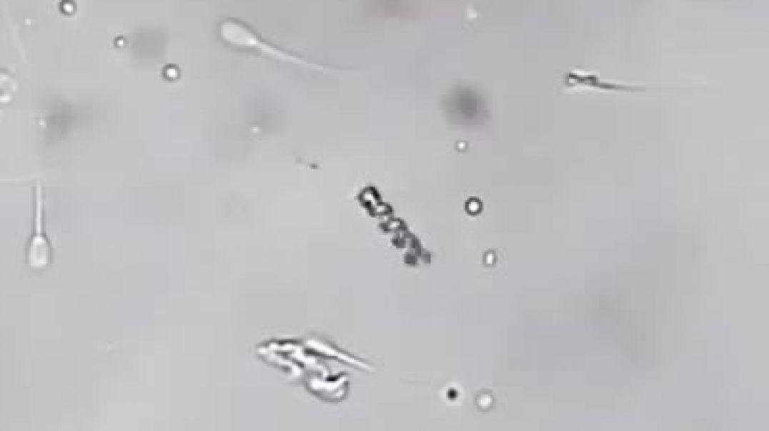 Un nanobot toma un espermatozoide por la cola e insemina un óvulo con él.