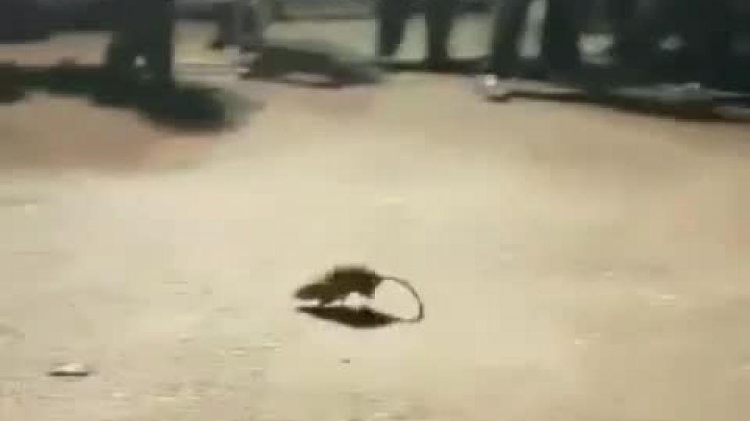 Judíos y Ratas.